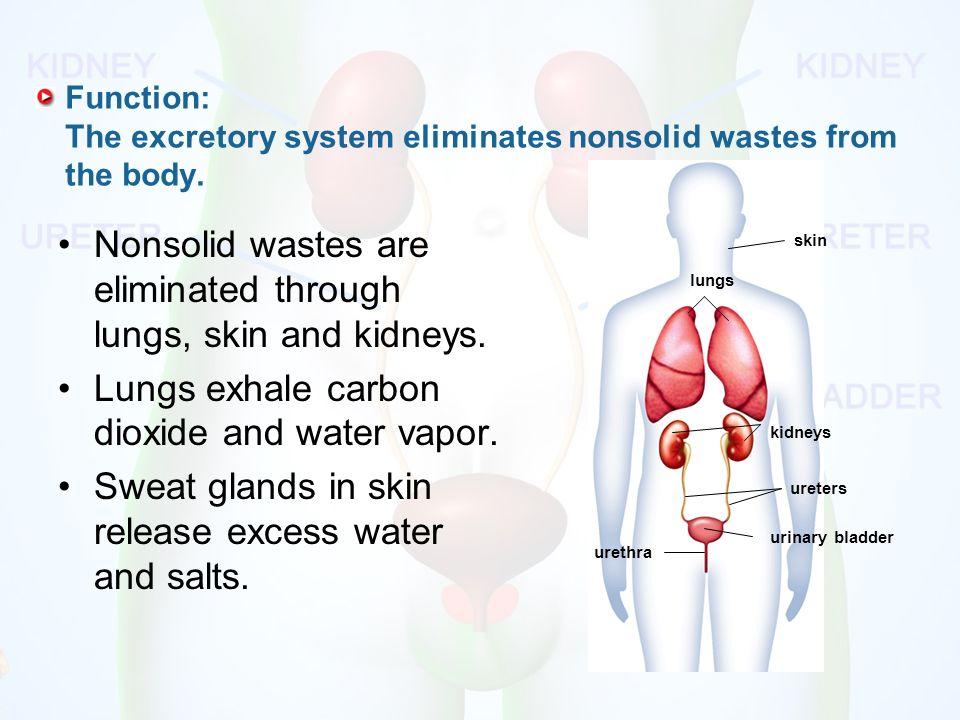 the excretory system. function: the excretory system eliminates, Sphenoid