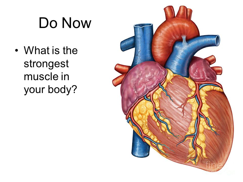 do now what is the strongest muscle in your body?. - ppt download, Cephalic Vein