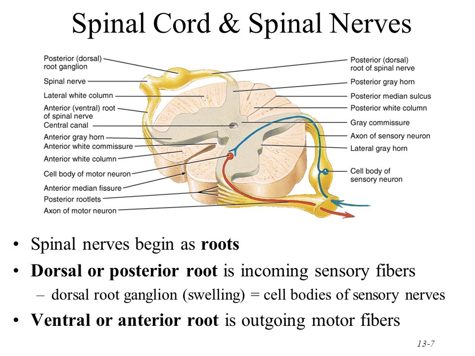 13-1 The Spinal Cord & Spinal Nerves Together with brain forms the ...