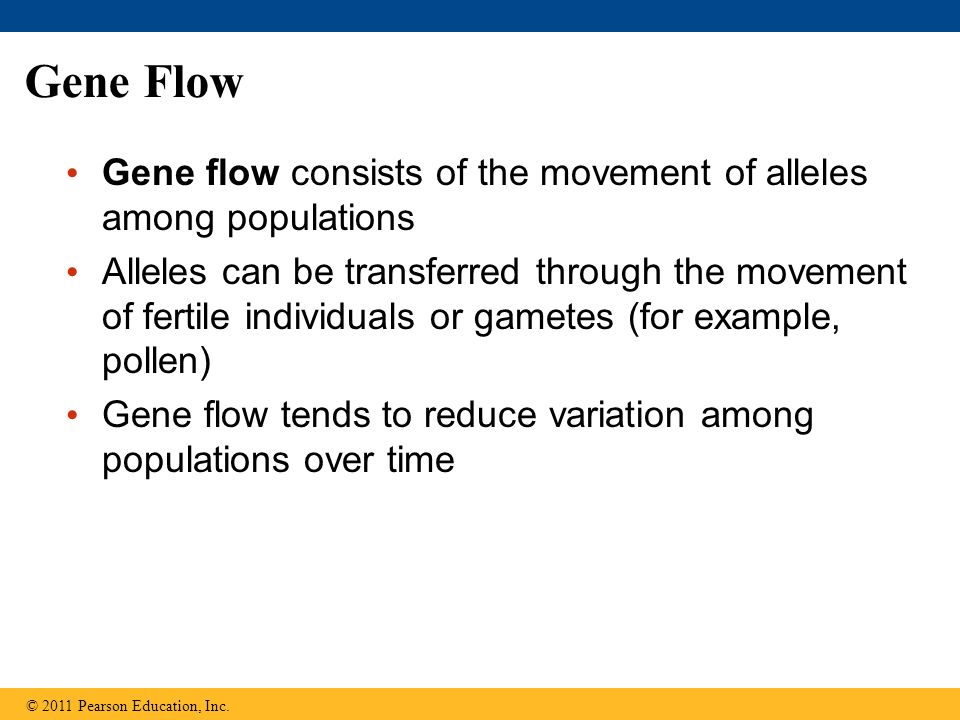 Gene Flow Gene flow consists of the movement of alleles among populations Alleles can be transferred through the movement of fertile individuals or gametes (for example, pollen) Gene flow tends to reduce variation among populations over time © 2011 Pearson Education, Inc.