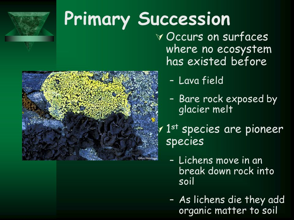 Primary Succession  Occurs on surfaces where no ecosystem has existed before –Lava field –Bare rock exposed by glacier melt  1 st species are pioneer species –Lichens move in an break down rock into soil –As lichens die they add organic matter to soil