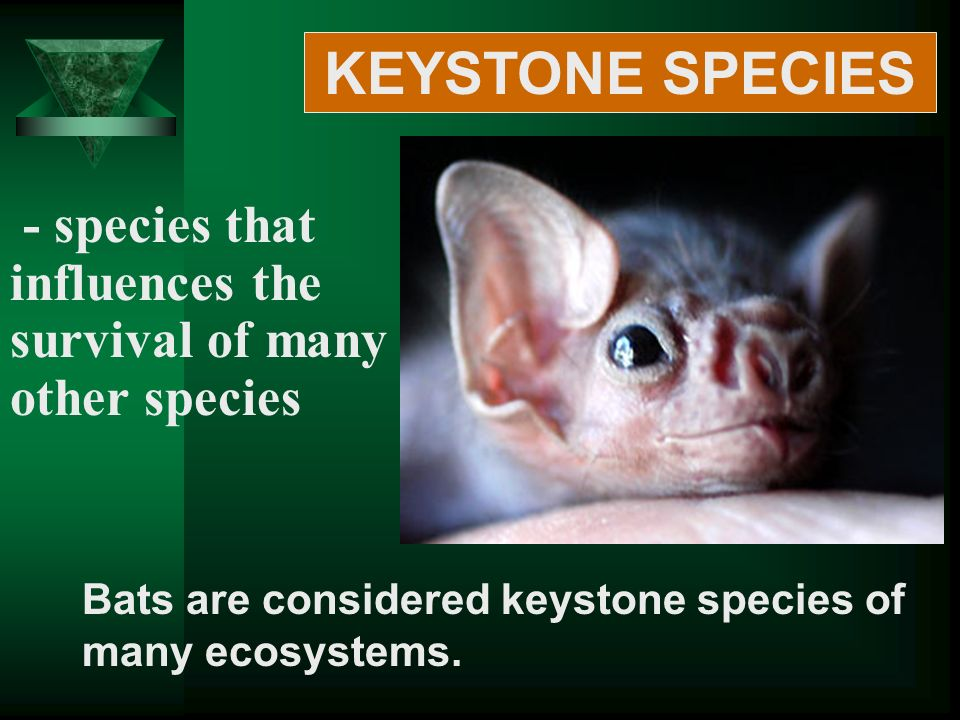 - species that influences the survival of many other species Bats are considered keystone species of many ecosystems.