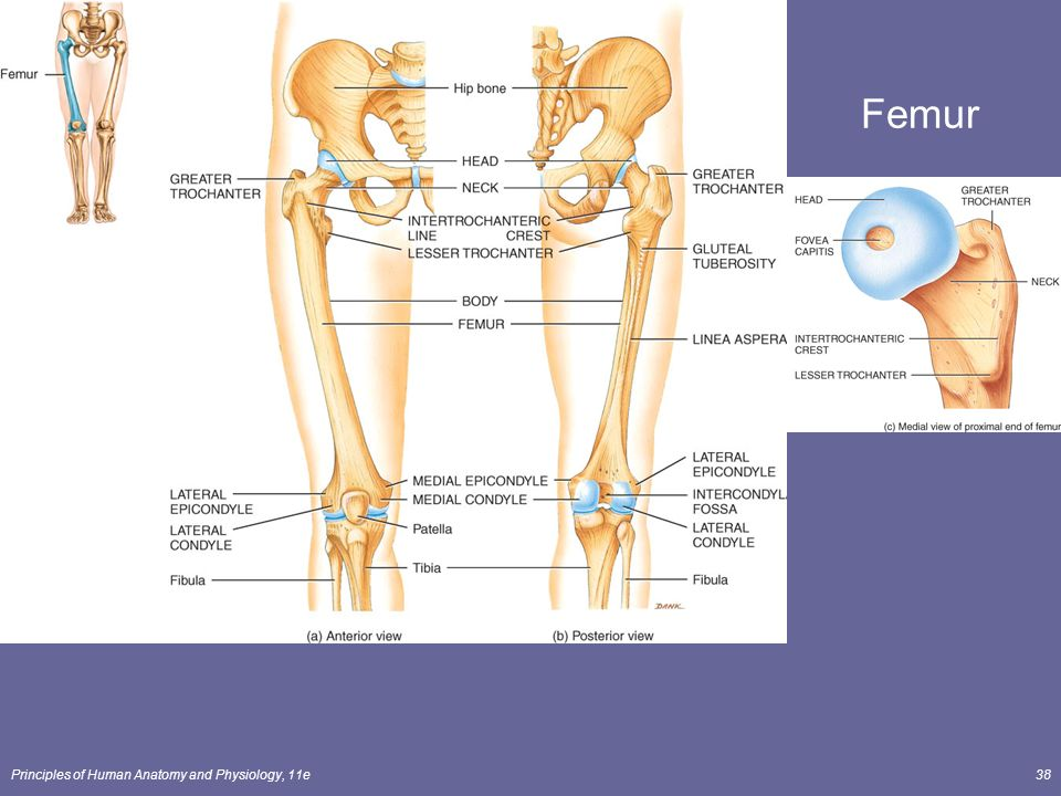 Principles of Human Anatomy and Physiology, 11e1 Chapter 8 The ...