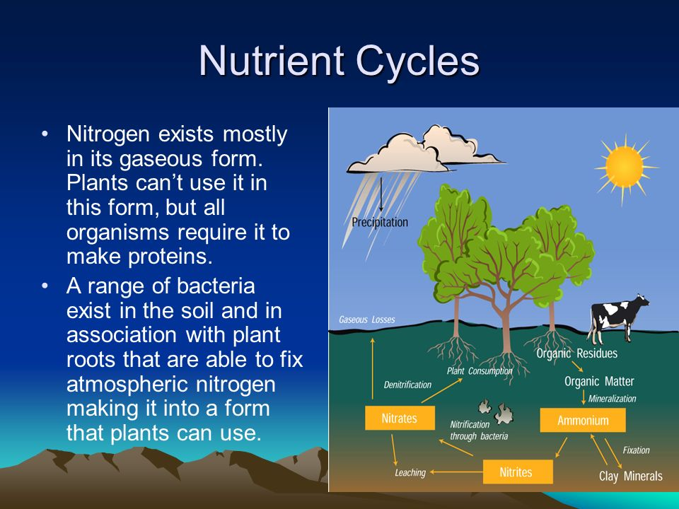 Nutrient Cycles Nitrogen exists mostly in its gaseous form.