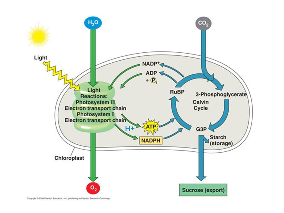 Notes 82 83 photosynthesis photosynthesis trapping the suns 45 factors affecting photosynthesis water supply temperature some of the enzymes function best between 0 35 degrees celsius ccuart Choice Image