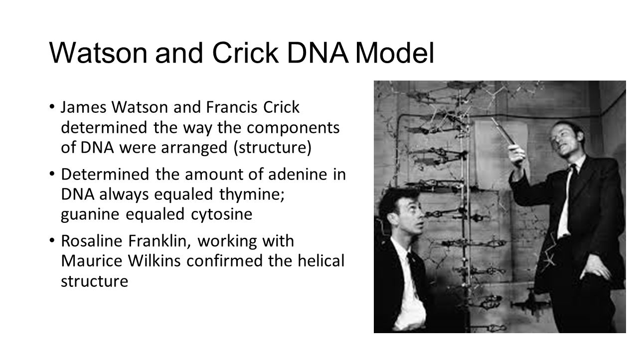 francis cricks work in discovering the dna molecule On this day in 1953, cambridge university scientists james d watson and francis hc crick announce that they have determined the double-helix structure of dna, the molecule containing human genes though dna–short for deoxyribonucleic acid–was discovered in 1869, its crucial role in.
