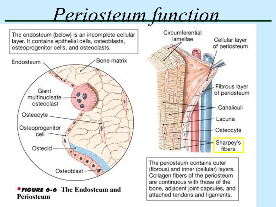 Bones And Skeletal Tissues Anatomy Physiology Skeletal System