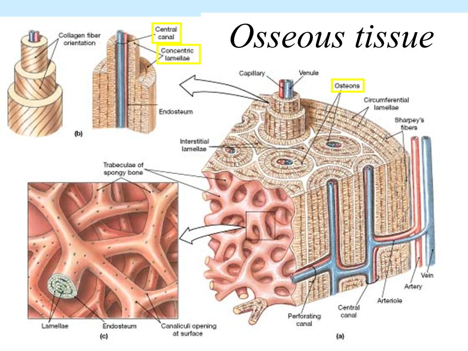 skeletal tissue In this aandponlinecom lecture we talk about the gross, microscopic, and chemical structure of bone we discuss the osteon, organic/inorganic components of.