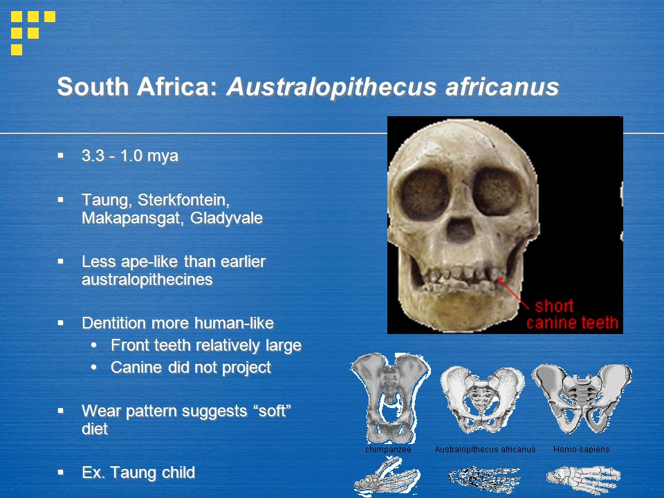 australopithecines vs homo essay Australopithecine essay - when considering whether a fossil homo australopithecines were bipedal yet also arboreal dwellers these very unc.