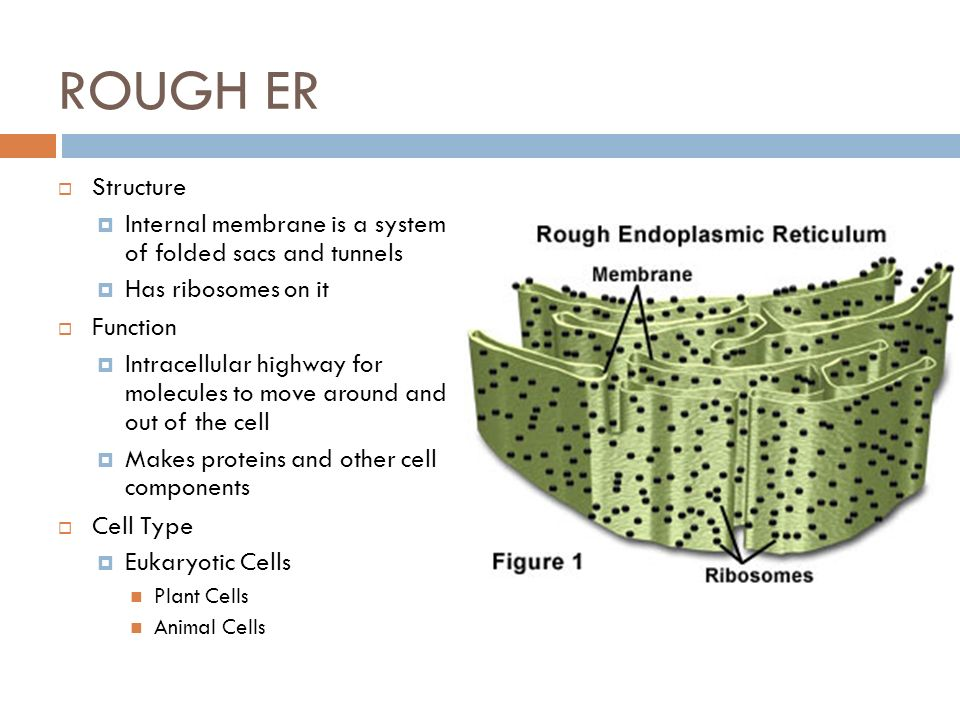 Function of smooth endoplasmic reticulum yahoo dating