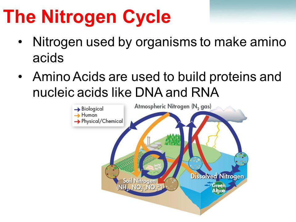 Lesson Overview Lesson Overview Cycles of Matter The Nitrogen Cycle Nitrogen used by organisms to make amino acids Amino Acids are used to build proteins and nucleic acids like DNA and RNA
