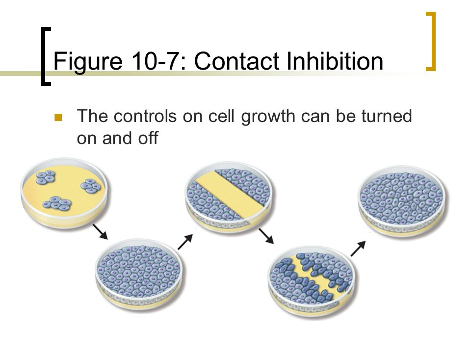 Figure 10-7: Contact Inhibition The controls on cell growth can be turned on and off