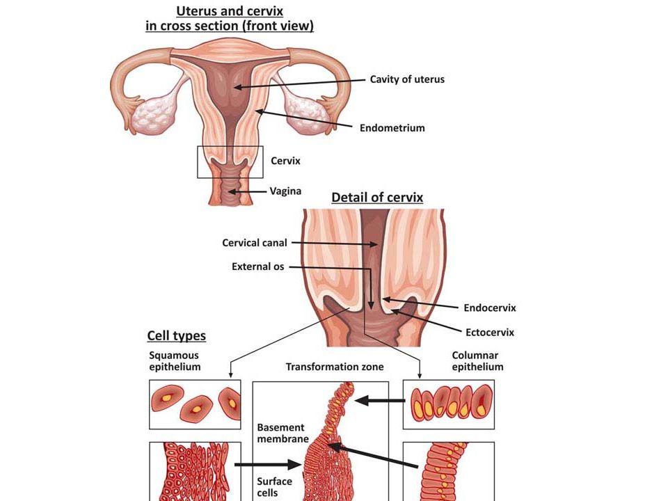 Uterus And Cervix Anatomy Image collections - human body anatomy