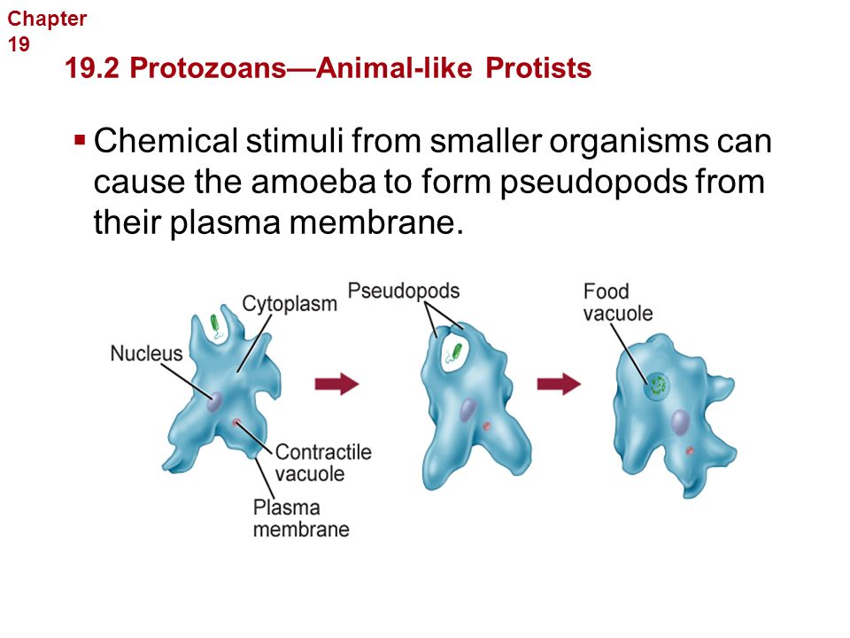 Protists Sarcodina  Animal-like protists that use pseudopods for feeding and locomotion  The most commonly studied sarcodines are found in the genus Amoeba.