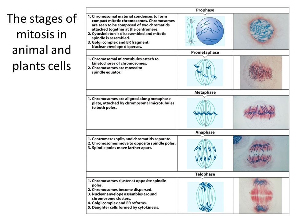 a description of the stages in the process of mitosis The process that follows the last stage of mitosis with two complete copies of the dna now in two different regions of one cell, the cell membrane will pinch and divide the cytoplasm in half the result is two individual cells that are identical to the original cell.