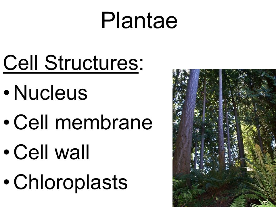Plantae Cell Structures: Nucleus Cell membrane Cell wall Chloroplasts