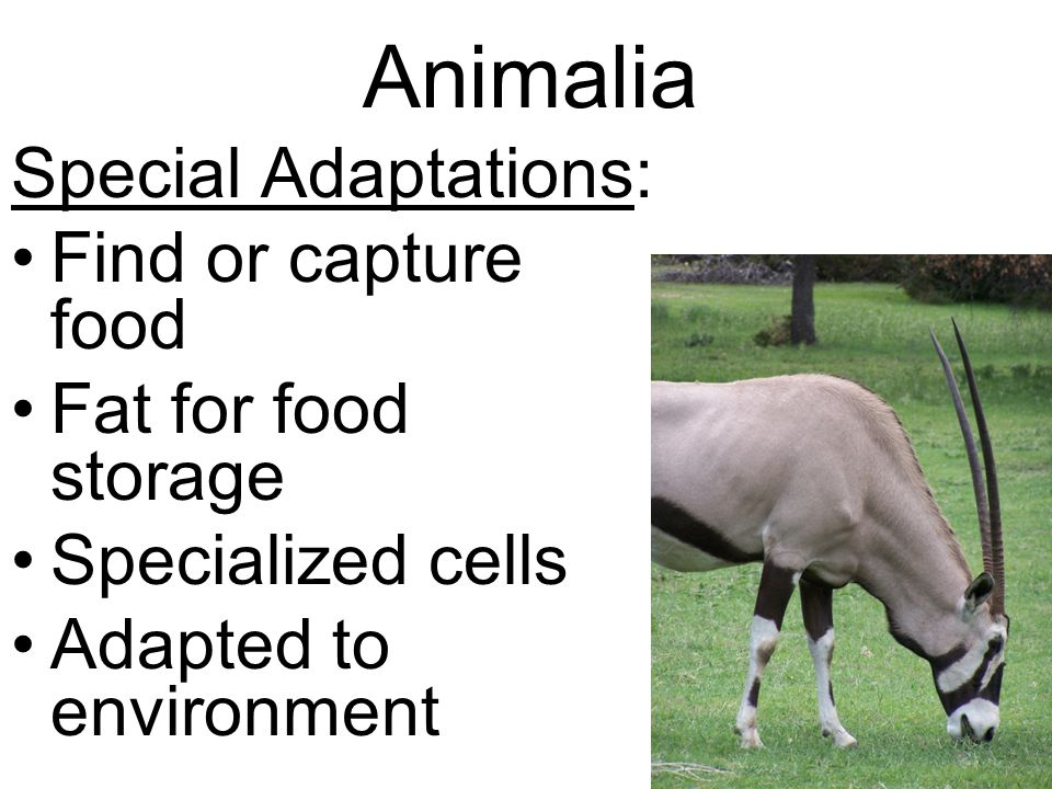 Animalia Special Adaptations: Find or capture food Fat for food storage Specialized cells Adapted to environment