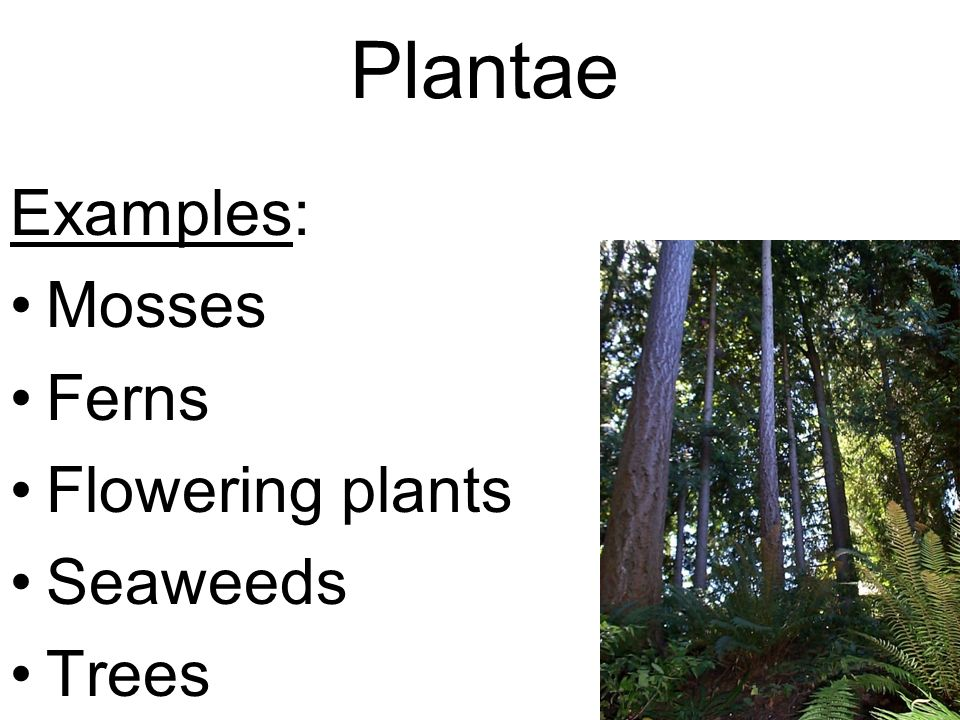 Plantae Examples: Mosses Ferns Flowering plants Seaweeds Trees