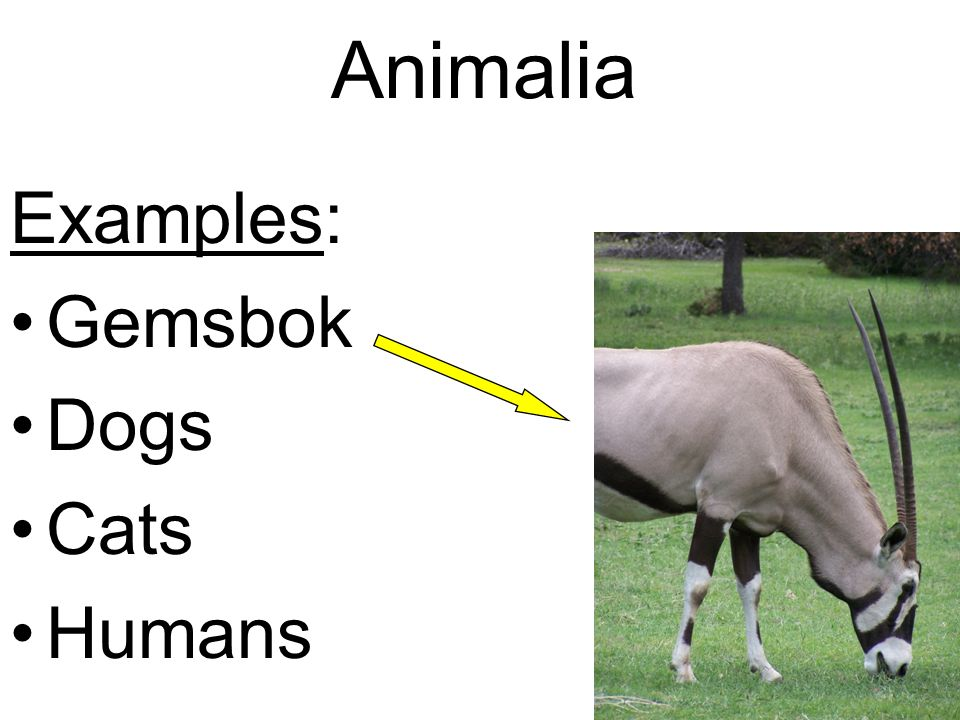 Animalia Examples: Gemsbok Dogs Cats Humans