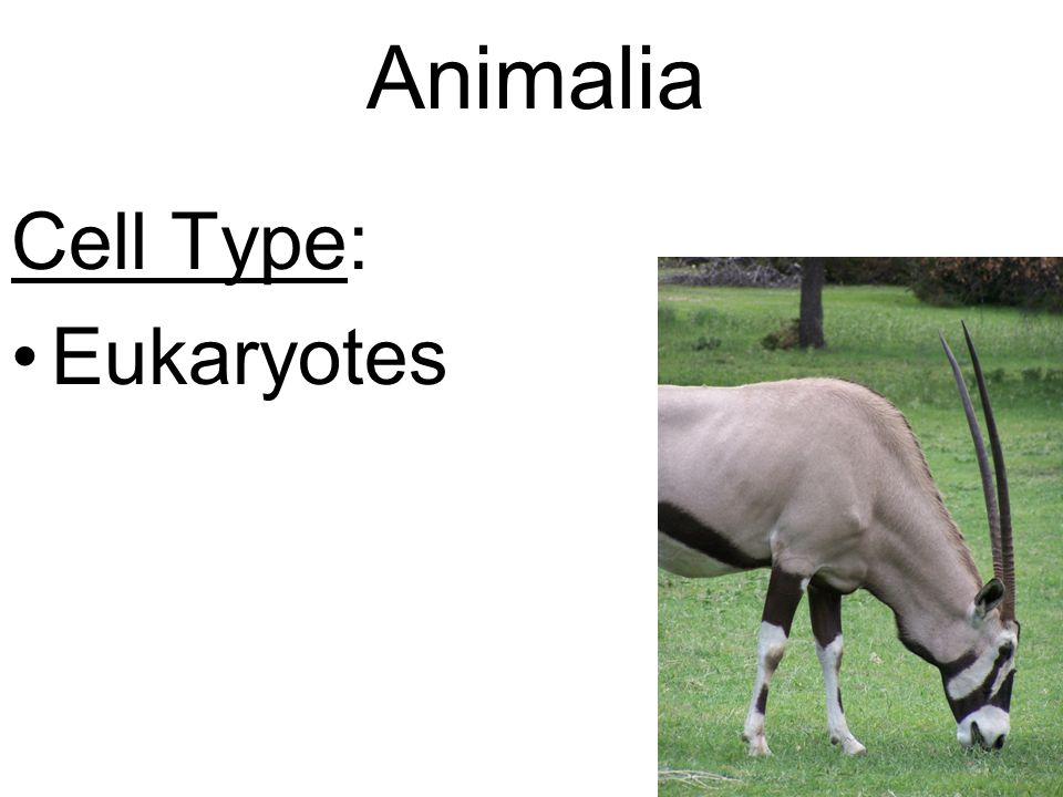 Animalia Cell Type: Eukaryotes