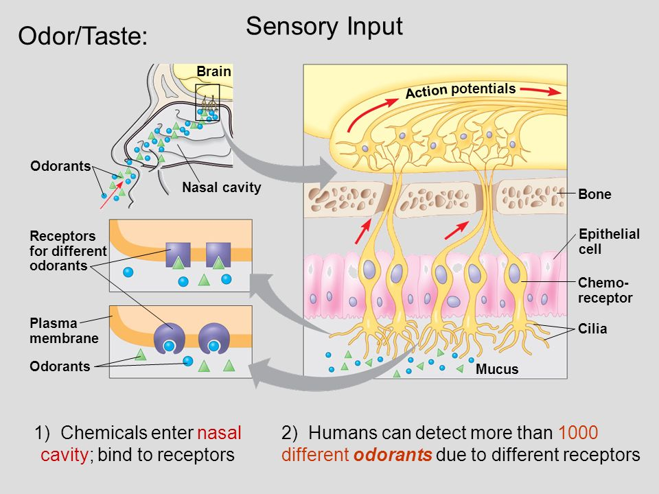 lab 8 human sensory systems You have eight sensory systems your 8 senses located in the lateral postcentral gyrus, a prominent structure in the parietal lobe of the human brain.