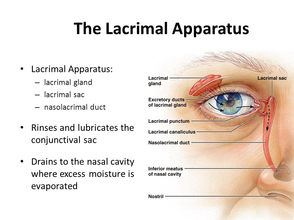 Lacrimal apparatus anatomy - global-brain-sounds.info