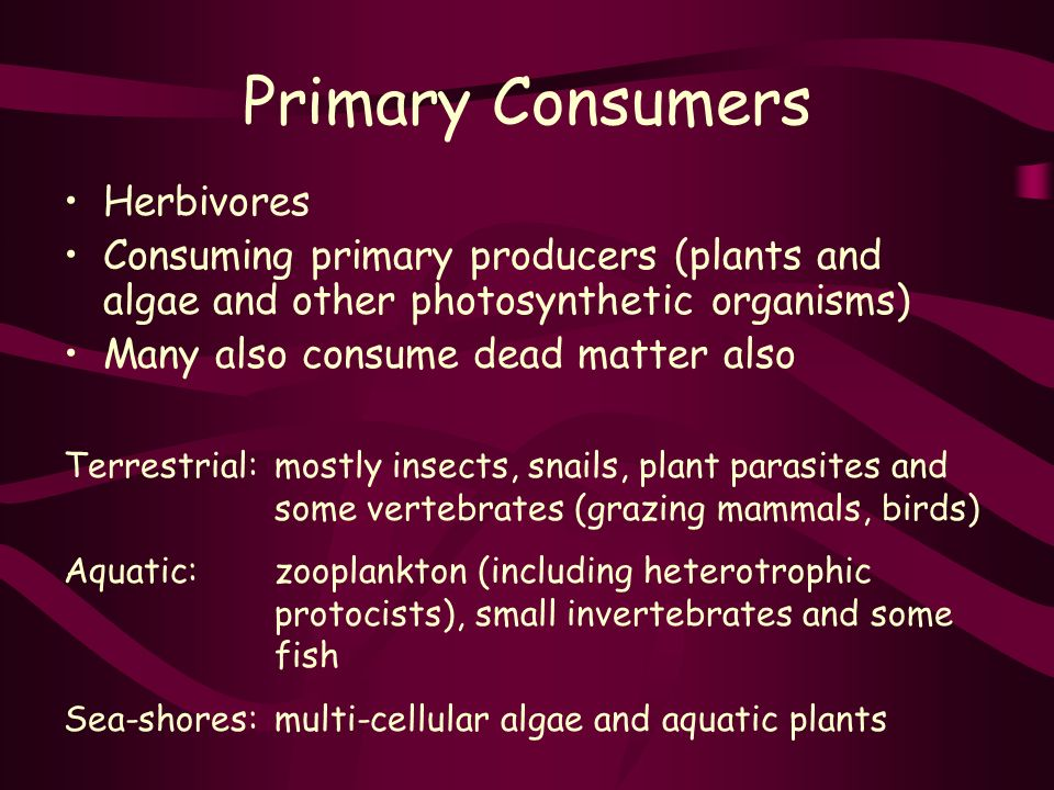 Primary Consumers Herbivores Consuming primary producers (plants and algae and other photosynthetic organisms) Many also consume dead matter also Terrestrial:mostly insects, snails, plant parasites and some vertebrates (grazing mammals, birds) Aquatic:zooplankton (including heterotrophic protocists), small invertebrates and some fish Sea-shores:multi-cellular algae and aquatic plants
