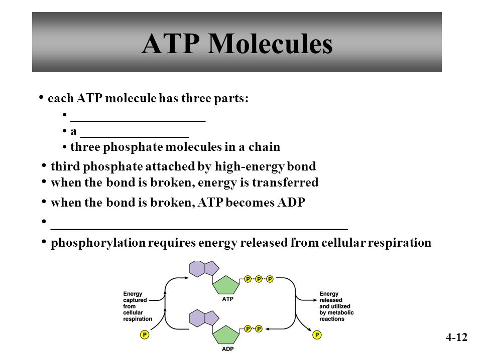 Human Anatomy & Physiology I Chapter 4 Cell Metabolism ppt download