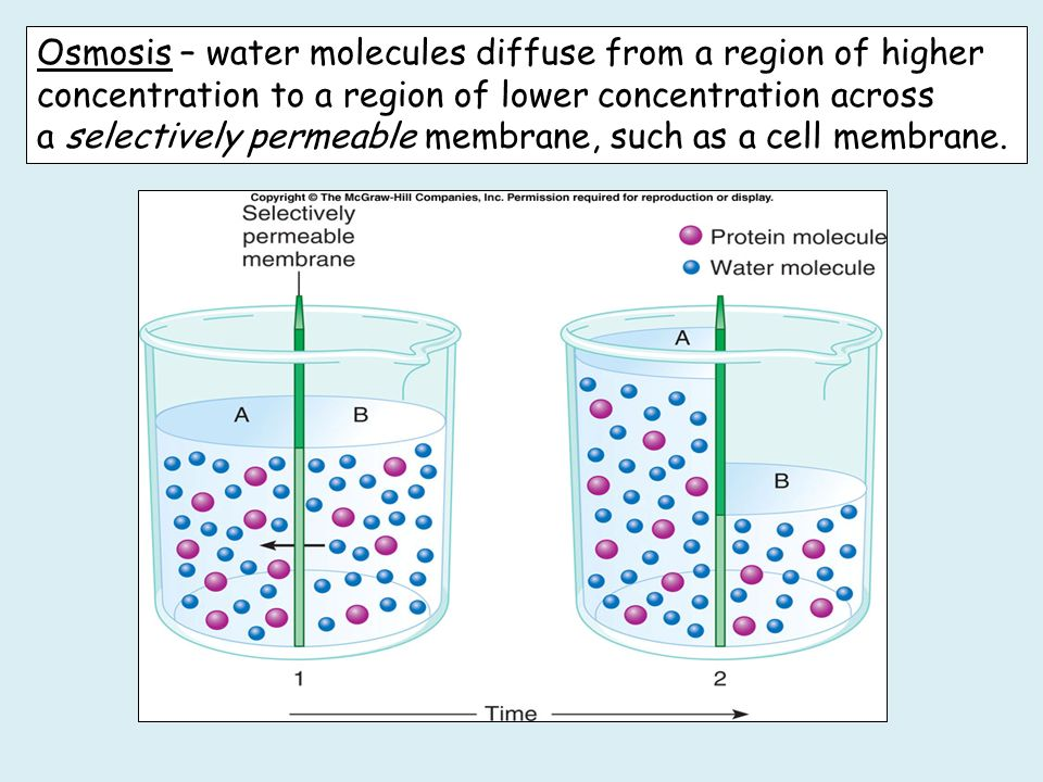 Osmosis – water molecules diffuse from a region of higher concentration to a region of lower concentration across a selectively permeable membrane, such as a cell membrane.