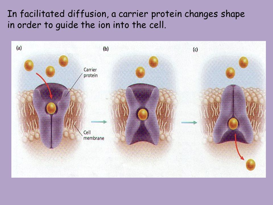 In facilitated diffusion, a carrier protein changes shape in order to guide the ion into the cell.