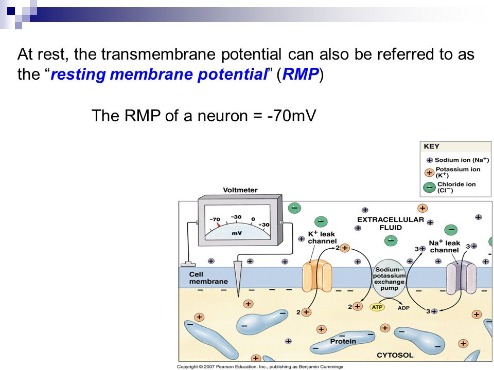 At rest, the transmembrane potential can also be referred to as the resting membrane potential (RMP) The RMP of a neuron = -70mV
