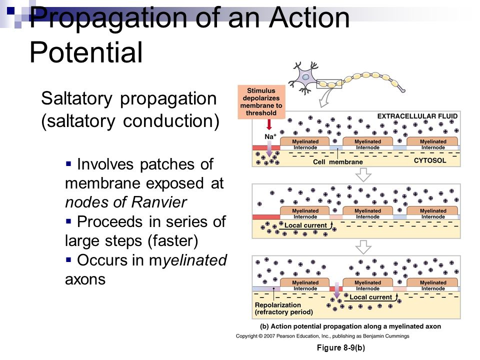 Propagation of an Action Potential Saltatory propagation (saltatory conduction)  Involves patches of membrane exposed at nodes of Ranvier  Proceeds in series of large steps (faster)  Occurs in myelinated axons Figure 8-9(b)