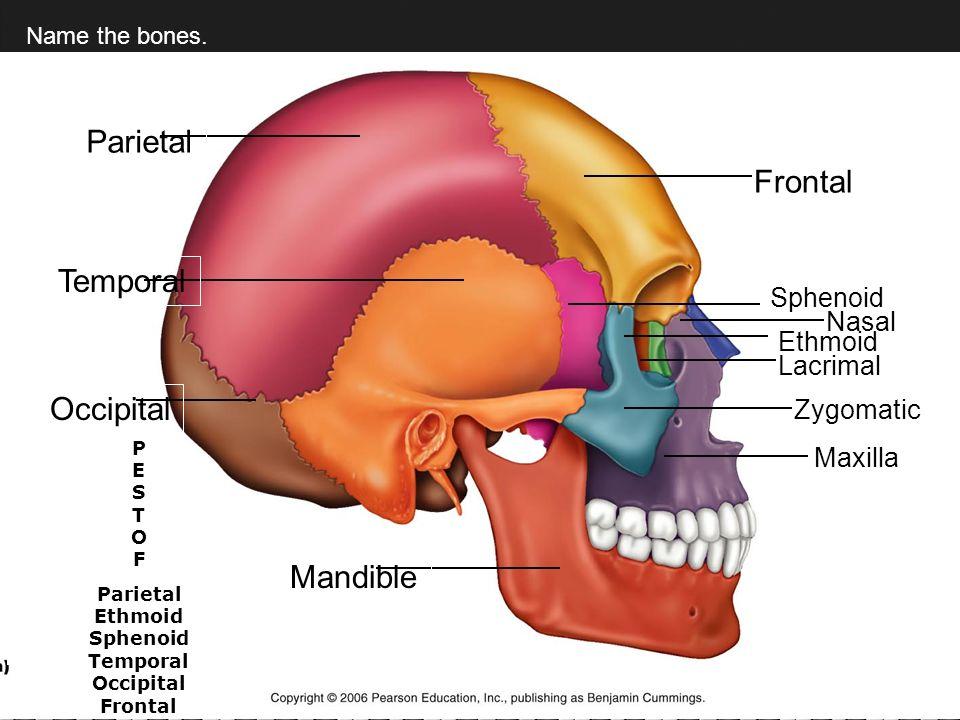 Fancy Fetal Head Anatomy Photo - Anatomy And Physiology Biology ...