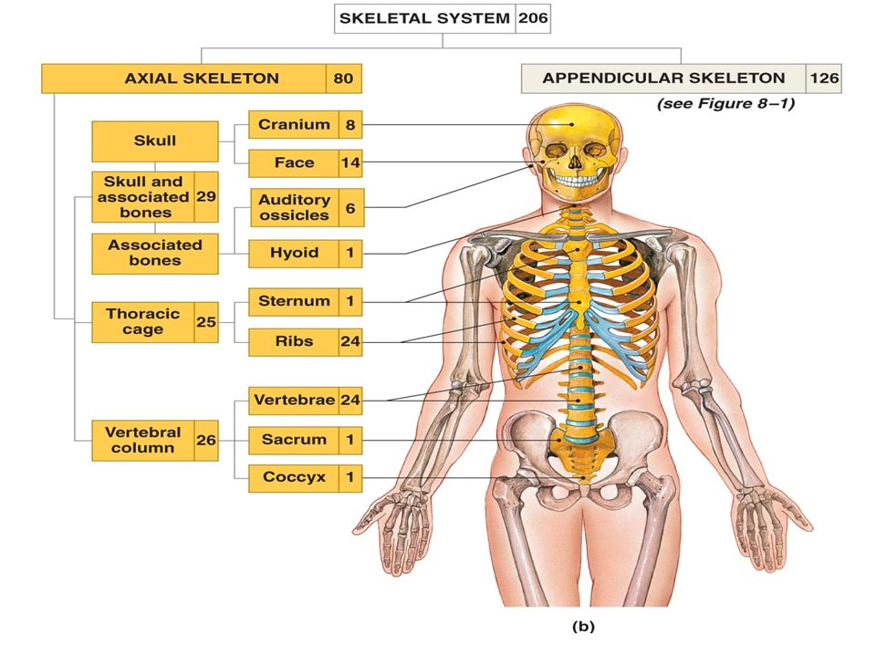 Skeleton Axial Exercise 10 Page123 Lab 4 Classification Of Bones