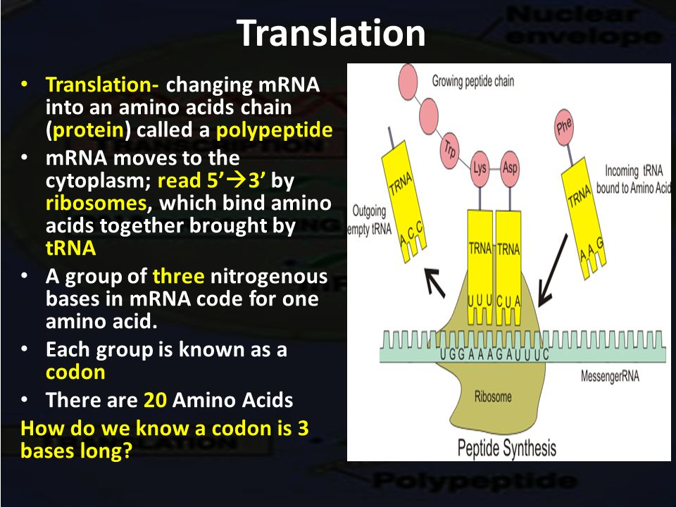 mrna protein sythesis Protein synthesis is the process by which individual cells construct proteins if protein synthesis stops working properly.