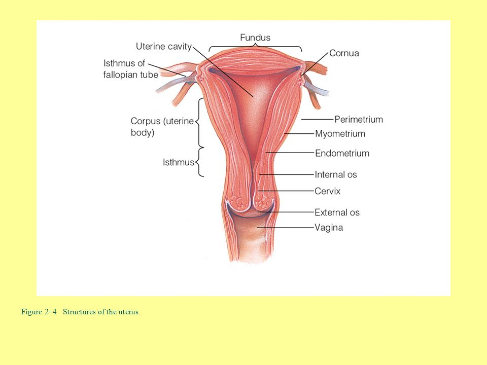 Nett Anatomy And Physiology Of The Uterus Ideen - Menschliche ...