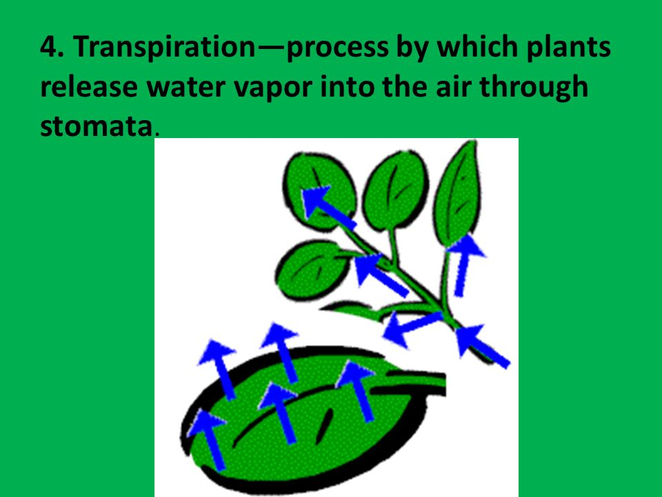4. Transpiration—process by which plants release water vapor into the air through stomata.