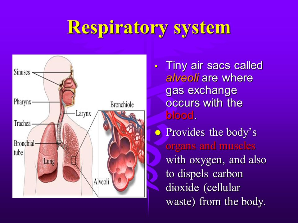 respiratory system and tiny air sacs The respiratory system your lungs are part of the respiratory system, a group of organs and tissues that work together to help you breathe the respiratory system's main job is to move fresh air into your body while removing waste gases.