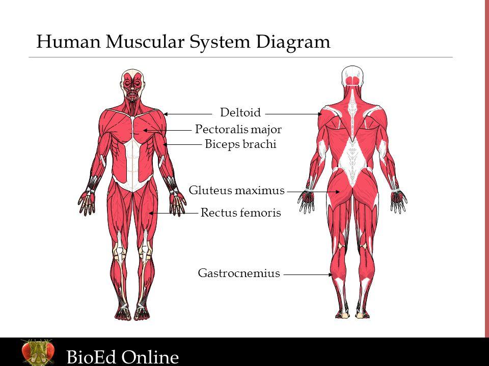 Diagram Of Human Muscular System Craftbrewswagfo