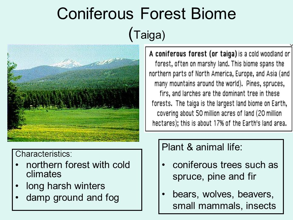 coniferous forest essay Fewer forests mean that the sustainability of our planet earth is endangered so far, there are actions and measures that are being undertaken to curtail deforestation, a move towards saving our natural environment and repairing the damage that has been caused for more than a century the quickest solution would be to just stop the cutting down.