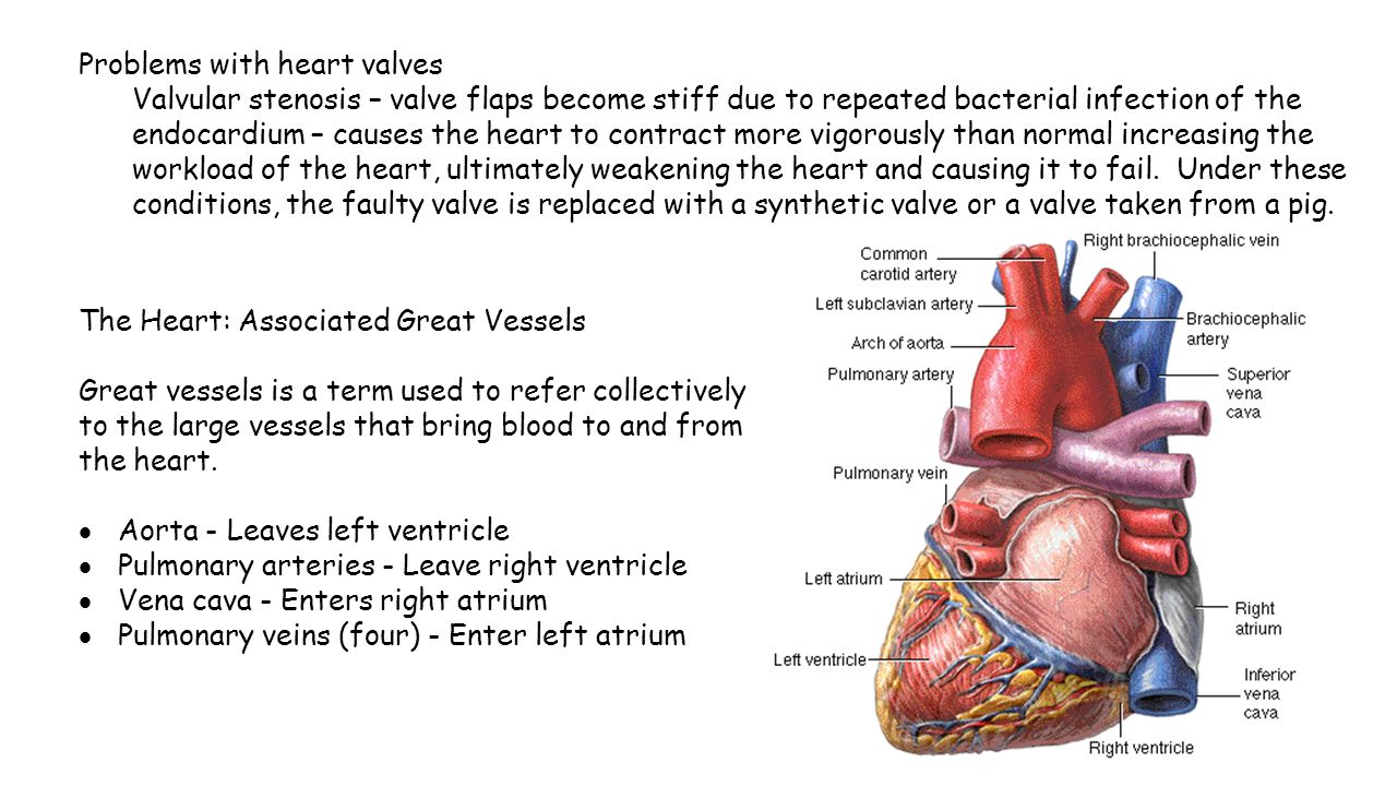 Cardiac vessels anatomy