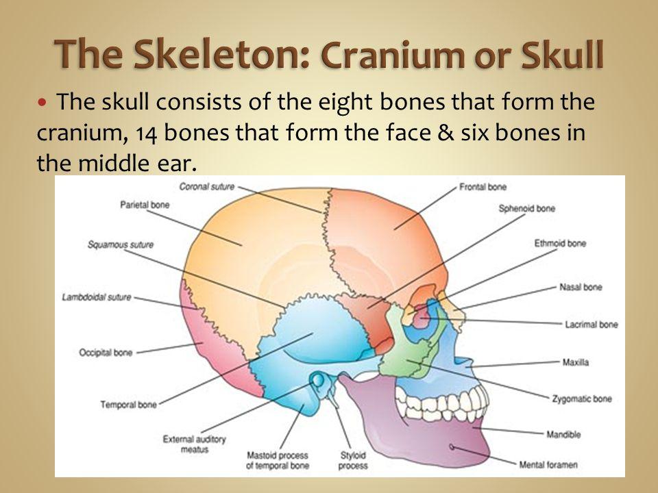 Name The Eight Bones That Form The Cranium Frodofullring