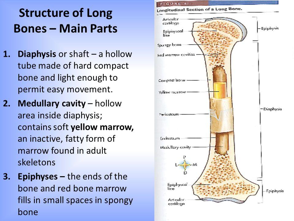 Ausgezeichnet Anatomy And Physiology Of Bone Marrow Ideen ...