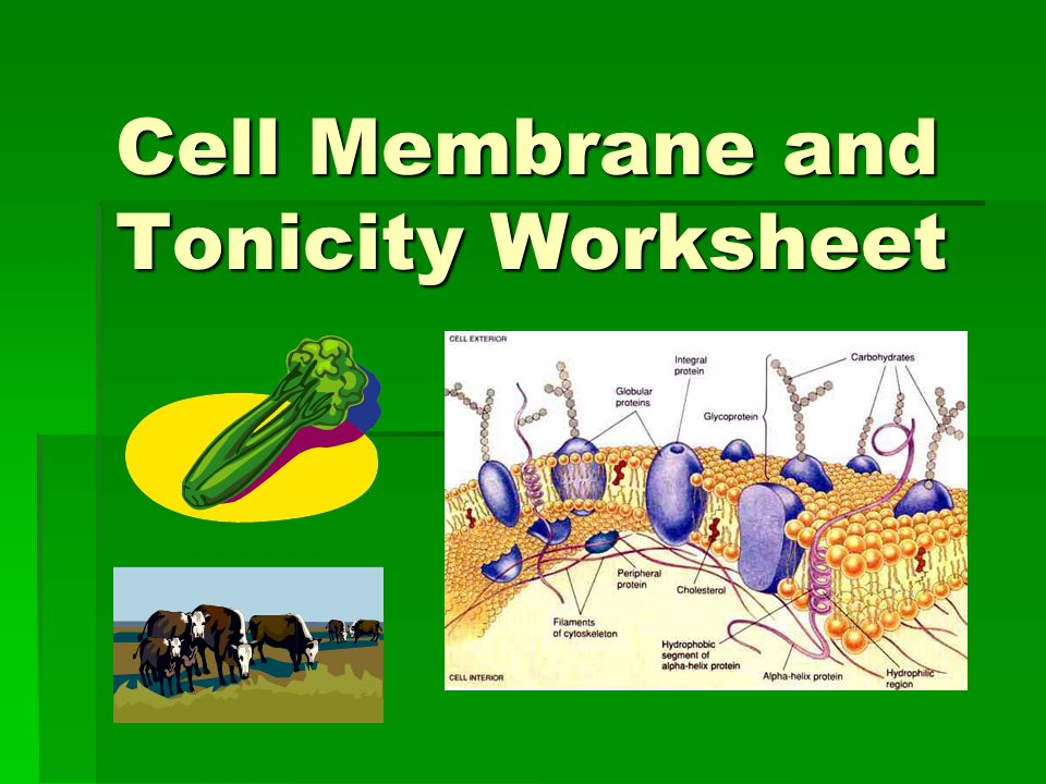 Cell Membrane and Tonicity Worksheet. Composition of the Cell ...