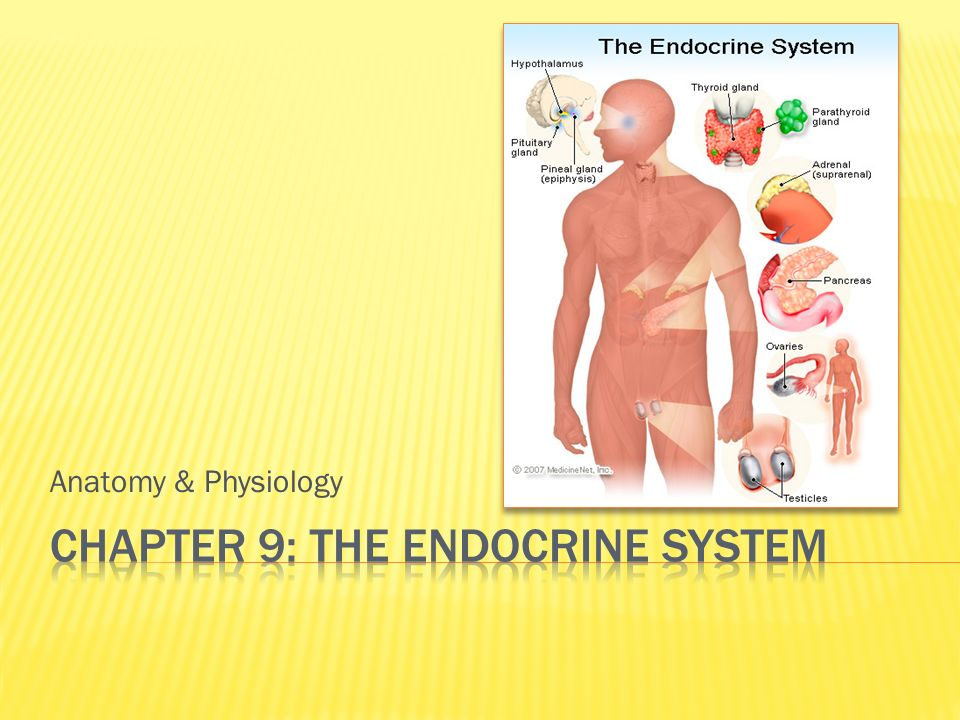 Anatomy & Physiology.  Second-messenger system of the body ...