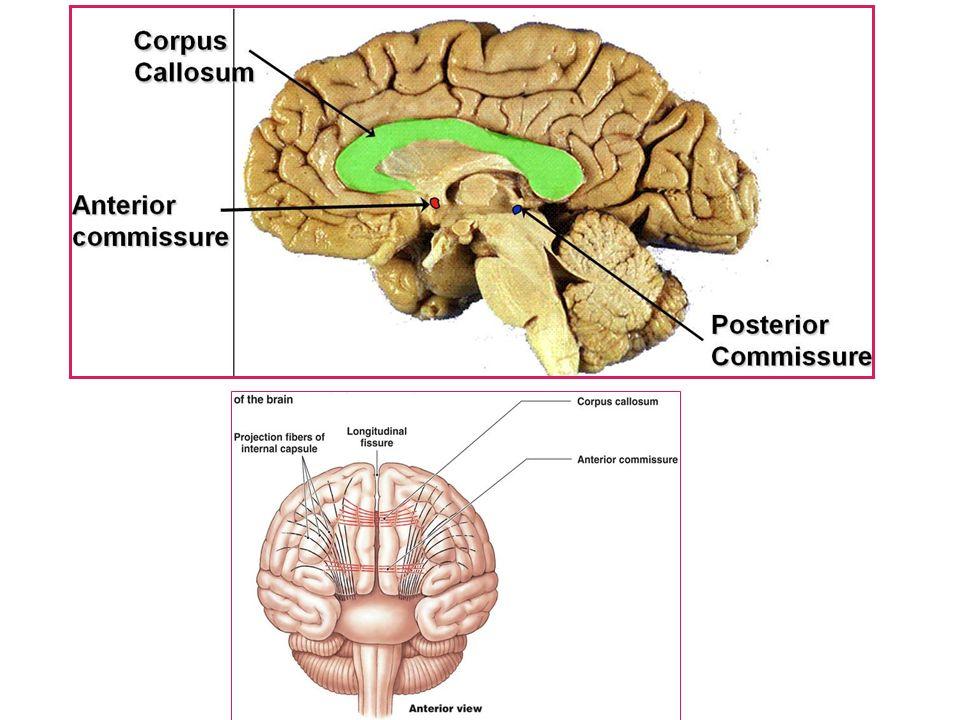 Internal Features Of The Brain Dmer Drania Gabr Dfaa D