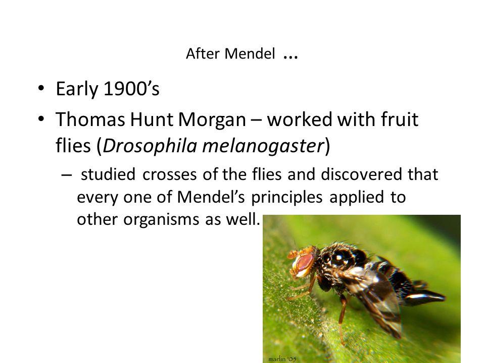 thomas h morgan drosophila