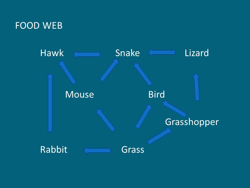 FOOD WEB Hawk Snake Lizard Mouse Bird Grasshopper Rabbit Grass