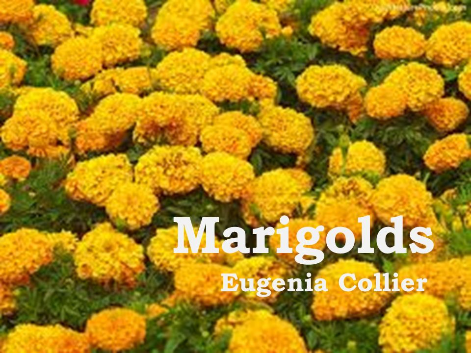 marigolds eugenia collier build background iuml frac the paragraph 1 marigolds eugenia collier