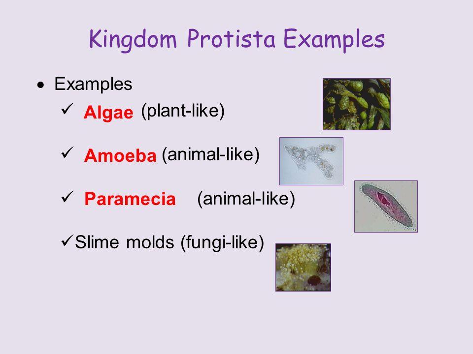 Kingdom Protista Examples  Examples (plant-like) (animal-like) Slime molds (fungi-like) Algae Amoeba Paramecia
